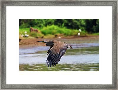 Tiger Heron Framed Print