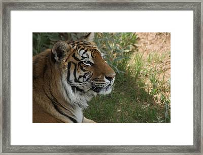 Tiger I Framed Print by Susan Heller