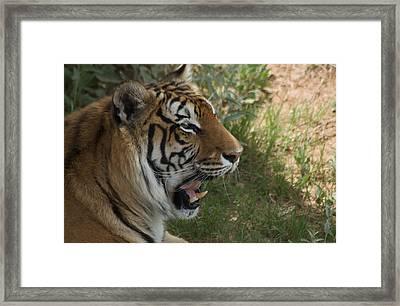 Tiger II Framed Print by Susan Heller