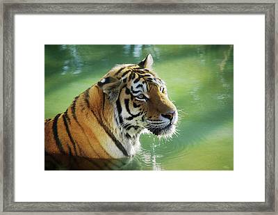 Tiger In The Water Framed Print by Carlos Caetano