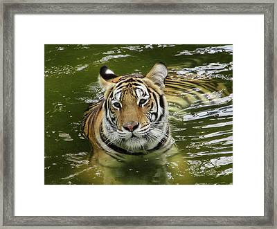Framed Print featuring the photograph Tiger In The Water by Pamela Walton
