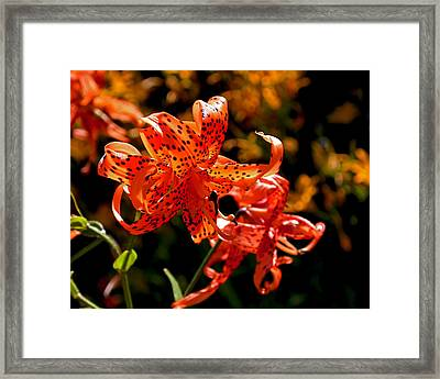 Tiger Lilies Framed Print by Rona Black