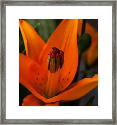 Tiger Lilly Close Up Framed Print by Billy Burdette
