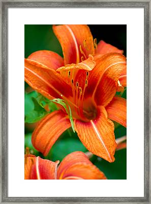 Tiger Lilly  Framed Print by Jame Hayes