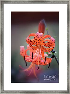 Tiger Lily 2 Framed Print