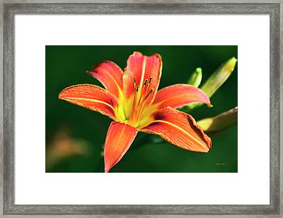 Framed Print featuring the photograph Tiger Lily by Christina Rollo