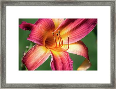 Tiger Lily Close Up Framed Print