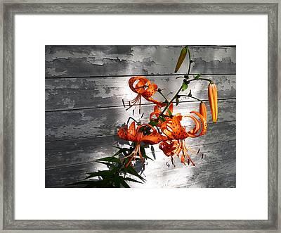 Tiger Lily Drama Framed Print by Tina M Wenger