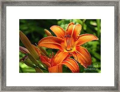 Tiger Lily Explosion Framed Print