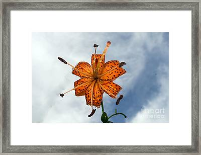 Tiger Lily In A Shower Framed Print