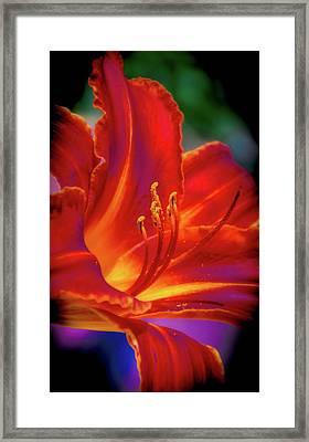 Tiger Lily Framed Print by Mark Dunton