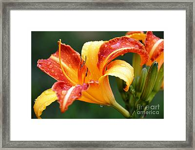 Tiger Lily Profile Framed Print by Lisa Kilby