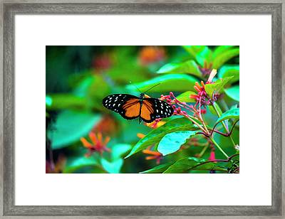 Tiger Longwing Butterfly Framed Print