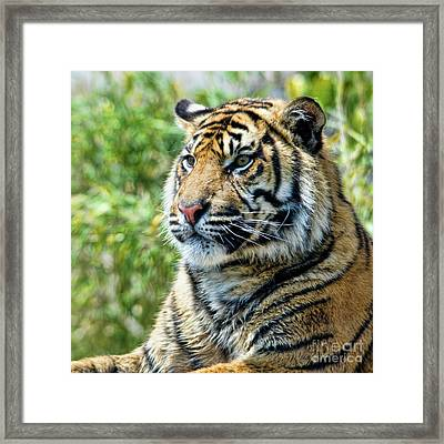 Tiger On Guard Framed Print by Steev Stamford