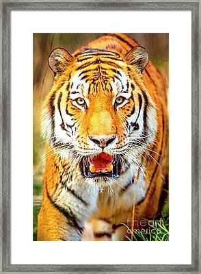 Tiger On The Hunt Framed Print