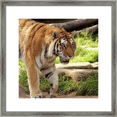 Tiger On The Hunt Framed Print by Gordon Dean II