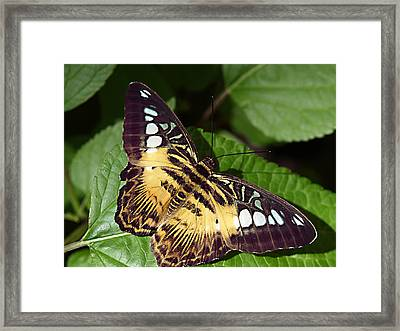 Tiger Print --- Clipper Butterfly Framed Print