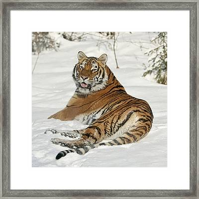Tiger Resting In Snow Framed Print by Wes and Dotty Weber