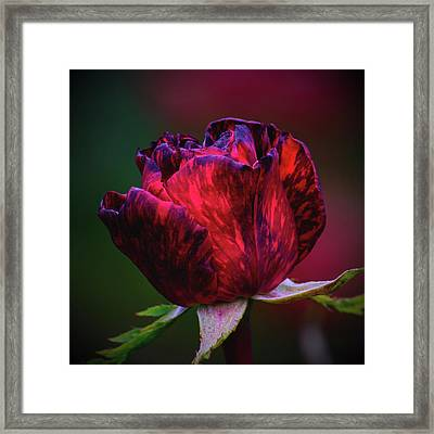 Tiger Rose Of Chehalis Framed Print
