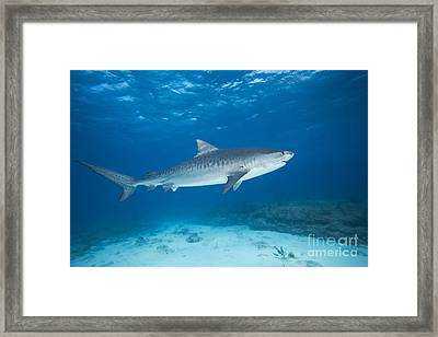 Tiger Shark Framed Print by Dave Fleetham - Printscapes