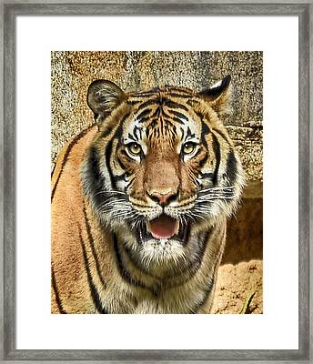 Tiger Smile Framed Print by Lynn Andrews