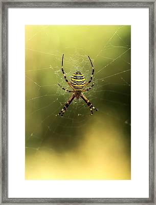 Tiger Spider Framed Print by Jaroslaw Blaminsky