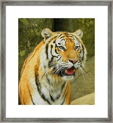 Framed Print featuring the photograph Tiger Stare by Sandi OReilly