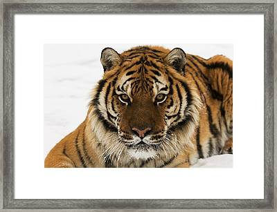 Tiger Stare Framed Print