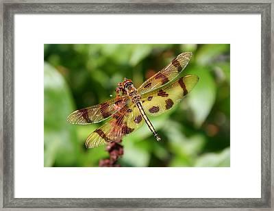 Tiger Striped Dragonfly Framed Print by Anne Babineau
