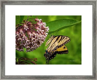 Tiger Swallowtail #210 Framed Print