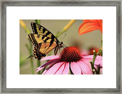 Tiger Swallowtail Butterfly Coneflower Framed Print by John Burk