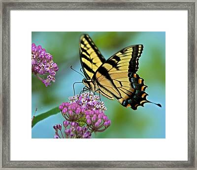 Tiger Swallowtail Butterfly Framed Print by Mark Preston