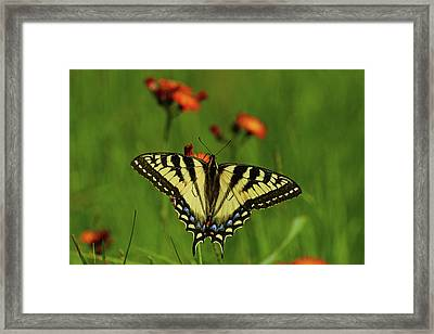 Tiger Swallowtail Butterfly Framed Print by Nancy Landry