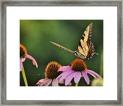 Tiger Swallowtail Framed Print by JD Grimes
