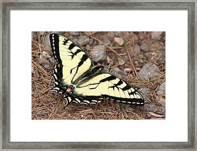 Tiger Swallowtail Framed Print by Jeff VanDyke