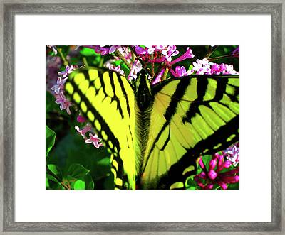 Tiger Swallowtail On Lilac Framed Print by Randy Rosenberger
