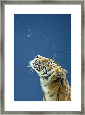Tiger With Bubbles Framed Print