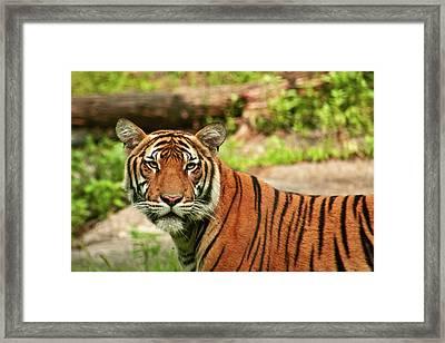 Tiger  Framed Print by Zev Steinhardt