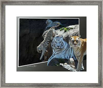 Tigers Out Of Frame Framed Print