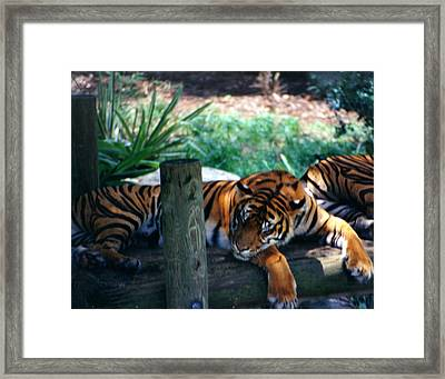 Tigers Sleeping Framed Print by Steve  Heit