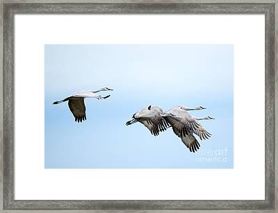 Tight Formation Framed Print by Mike Dawson