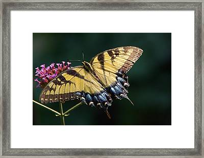 Framed Print featuring the photograph Tigress And Verbena by Byron Varvarigos