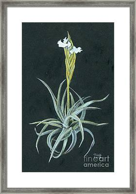 Tillandsia Diaguitensis Framed Print by Penrith Goff