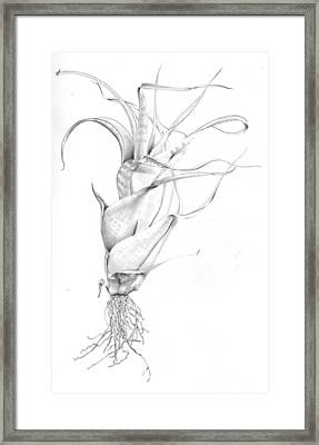 Tillandsia Flexuosa Framed Print
