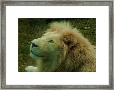 Framed Print featuring the photograph Timbavati White Lion by Chris Flees