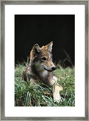Timber Wolf Canis Lupus Portrait Framed Print
