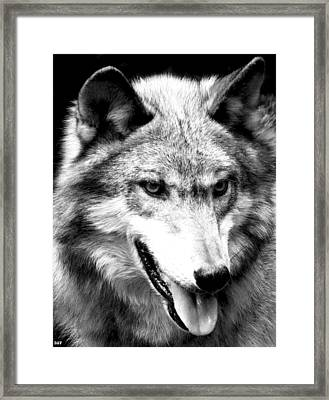 Timber Wolf Framed Print by Debra     Vatalaro