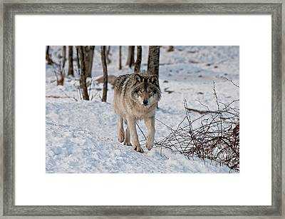 Timber Wolf In Snow Framed Print by Michael Cummings