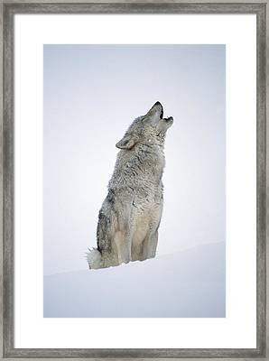 Timber Wolf Portrait Howling In Snow Framed Print