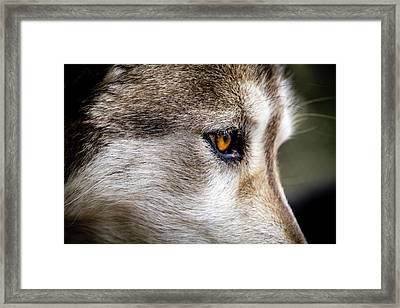 Framed Print featuring the photograph Timber Wolf Stare by Teri Virbickis